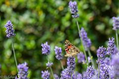 IMG_4915 (ElsSchepers) Tags: limburglavendel lavendelhoeve stokrooie kuringen hasselt natuur vlinders