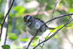 White-throated Sparrow  3380 (robenglish64) Tags: whitethroatedsparrow
