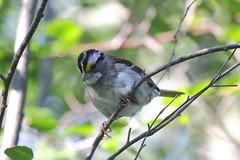 White-throated Sparrow  3380 (robenglish64) Tags: whitethroatedsparrow