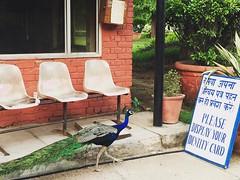 In The World of Muggles (Mayank Austen Soofi) Tags: delhi walla peacock in the world muggles