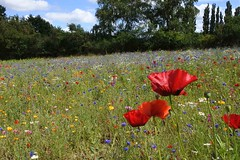 A riot of colour (Heathermary44) Tags: outdoor field meadow landscape wildflowers colourful denmark summer