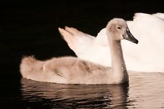 CYGNET 13TH july 2016 river stour (brazier305) Tags: summer nature season swan wildlife cygnet dorset fowl aquatic ornithology avian circleoflife riverstour tamron500mmmirror echocountry nikond300s stourvalleynaturereserve july13th2016