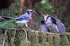 Mother and Juvenile Blue Jay (--Anne--) Tags: bluejay blue jays bird birds birdwatching birdphotography feeding juvenile fledgling babybird beautifulbird nature naturephotography wildlife wildlifephotography animals animalphotography