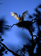 060627 Jabir 04 (coyotecorrea) Tags: jabirustork cigeajabir birds aves wetland humedal