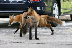 Look Both Ways (marylee.agnew) Tags: city red urban cars nature mammal outdoor wildlife canine fox