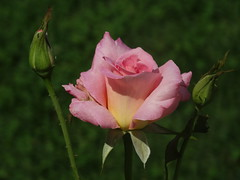 DSC00049 (gregnboutz) Tags: flowers roses flower rose pinkflower brightflowers pinkrose pinkflowers macroflowers gardenflowers pinkroses macroflower bloomingflower gardenflower bloomingrose colorfulrose bloomingflowers macrorose macroroses bloomingroses colorfulflower brightrose colorfulroses gregboutz