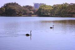 Together - 2015 (Saladdeys) Tags: together swan blackswan water river mine canon