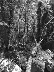 Hike to Caledonia waterfalls, Platres village. Troodos. Cyprus July 2016. (Langbach) Tags: trees forest blackwhite cyprus hike skog paths trr troodos kypros utptur langbach caledoniawaterfalls platresvillage july2016 sommerferie2016 juli2016