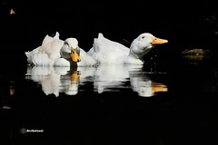 Ànecs reflectits . Patos reflejados. (AviAntonio) Tags: 2ev