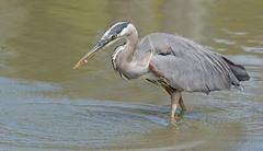 Great Blue Heron (Explored) (Brad Rangell) Tags: canada bird heron outdoors britishcolumbia delta greatblueheron