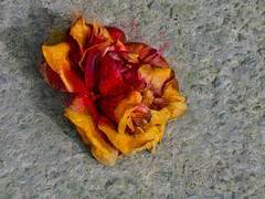 Far From Heaven (Steve Taylor (Photography)) Tags: heaven hell camelia art digital brown grey red yellow orange closeup sad concrete newzealand nz southisland canterbury christchurch cbd city flower texture shadow spring petal withered dying decaying perishing demise fallen