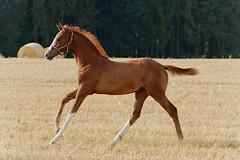 Stoppelfeld II (Heiko Schneemann) Tags: pferde fohlen foal lifeiscrazy stoppelfeld