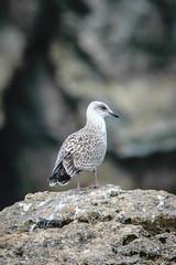 24072016DSC_0139.jpg (Ignacio Javier ( Nacho)) Tags: naturea gaviotas aves facebook flickr faunayflora