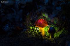 Night in El Terrero , Colima, Mxico. looking luminous fungi (Christian Villicaa (Fotografa)) Tags: fungi canon 6d canon6d 50mmf14 hongos hongosluminosos colima