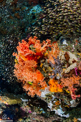 Baitfish and soft corals (Alessandro Cer) Tags: underwater bali joesgonediving school cnidaria candidasa gilimimpang indonesia corals reef manggis id