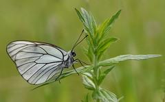 Black-veined White (Aporia crataegi). (festoon1) Tags: blackveinedwhite aporiacrataegi butterfly