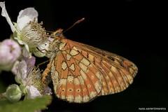 """Borboleta"", Marsh fritillary (Euphydryas aurinia) (xanirish) Tags: borboleta marshfritillaryeuphydryasauriniaemliberdadewildlifenunoxavierlopesmoreira ngc nuno xavier moreira macro borboletas butterfly portugal natureza liberdade wildlife gres"