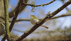 Singing Wood warbler (Andrewsteeleuk) Tags: april2016 spring2016 eos7dmarkii canonef400mmf56lusm canon dslr uk unitedkingdom england shropshire clunton cluntoncoppice wildlifetrustnaturereserve nature wildlife animal bird woodwarbler phylloscopussibilatrix yellow brown green grey white black leafs branch tree blue