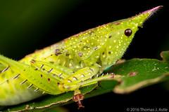 Conehead Katydid (Tom's Macro and Nature Photographs) Tags: macrophotography insects katydids katydid peru orthoptera rainforest amazon conehead predators