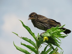 Female red-winged blackbird (JJP in CRW) Tags: birds leclaire iowa