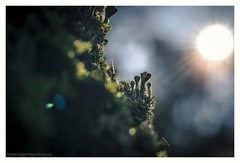 A kind of magic forest (s1nano) Tags: micronikkorafs40mm128g nikond7000 tree moss trunk nature sunrays sun lichen