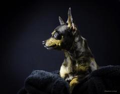 SHEENA (Stephen-Hotratz-Long) Tags: dogs russianbreeds russian toy russiantoy pets petportrait pentax pentaxart dogportrait animals puppy