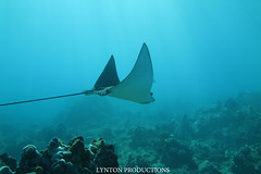 IMG_0047 (Aaron Lynton) Tags: lyntonproductions tako honu turtle hawaii maui underwater canon g1x spotted eagle ray octopus sea star