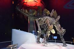 "Stegosaurus stenops (""Sophie"") (pavelcab) Tags: pablocabezos pavelcab 2016 cabezos londres london inglaterra england unitedkingdom reinounido dinosaurio paleontologia naturalhistorymuseum museo stegosaurus estegosaurio stegosaurusstenops sophie"