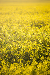 5C8A7675 (pbruch) Tags: calgary prairies grain canola growing seaon flowers flowering rape seed dirt road endless horizons