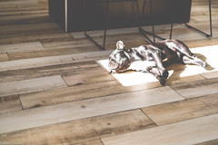 Sun bathing (josecdimas) Tags: dog frenchbulldog sassy sunbathing relaxing