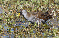 Sora - Porzana carolina (Paul Hueber) Tags: sora porzanacarolina bird animal wildlife nature lakeapopka orangecounty orlando florida unitedstates winter february 2016 canonef100400mmf4556lisusm aves america