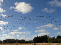 Kanadanhanhia (tommikv) Tags: kanadanhanhi canadagoose lintuparvi hanhiparvi landscape finland