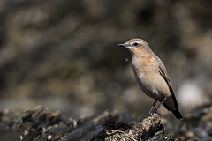 Bird on the rocks (Pascal Bernardin) Tags: traquetmotteux oenantheoenanthe northernwheatear