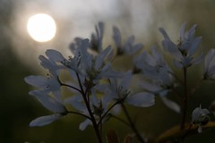 The early morning , #perspective , #elegant , #Exposure , #Sunrise , #contrast , #Photography , #Nature , #outdoor , #pollen , #color , #Light , #composition , #Bloom , #Photographer , #flora , #Macro , #closeup , #upclose , #Blossom , #mothernature , #de (jwzw@ymail.com) Tags: the early morning perspective elegant exposure sunrise contrast photography nature outdoor pollen color light composition bloom photographer flora macro closeup upclose blossom mothernature delicate spring beautiful splendid bokeh photoart purple wanderlust flower stamen