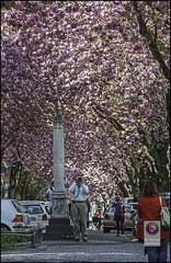 Bonn-Kirschbluete-14 (kurvenalbn) Tags: deutschland bonn pflanzen blumen nordrheinwestfalen frhling kirschbluete