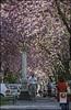 Bonn-Kirschbluete-14 (kurvenalbn) Tags: deutschland bonn pflanzen blumen nordrheinwestfalen frühling kirschbluete