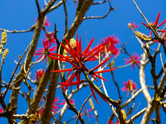 Naked Coral Tree / rvore de coral - Mulungu do Litoral (AdrianoSetimo) Tags: blue red flower minasgerais fuji flor bluesky depthoffield vermelho velvia fujifilm erythrina profundidadedecampo caraa x10 estradareal cuazul serradocaraa candelabro erythrinaspeciosa santuriodocaraa mulungu colorn alzul eritrina corticeira fazendadoengenho nakedcoral erythrinacoralloides eritrinavermelha pichocos flamecoraltree fujifilmx10 rvoredecoral mulumgudolitoral