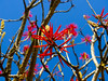 Naked Coral Tree / Árvore de coral - Mulungu do Litoral (AdrianoSetimo) Tags: blue red flower minasgerais fuji flor bluesky depthoffield vermelho velvia fujifilm erythrina profundidadedecampo caraça x10 estradareal céuazul serradocaraça candelabro erythrinaspeciosa santuáriodocaraça mulungu colorín alzul eritrina corticeira fazendadoengenho nakedcoral erythrinacoralloides eritrinavermelha pichocos flamecoraltree fujifilmx10 árvoredecoral mulumgudolitoral