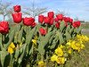 tulipanes rojos (jacilluch) Tags: red flower macro fleur rojo flor blossoms jardin tulipa tulipan bulbos cultivada