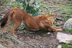 2014-08-17 (195) (CookiiEwe) Tags: park dog animals fur sweden wildlife sleepy hund sverige paws stretching djur kolmrden djurpark nyvaken dhole pls tassar stretchar