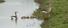 14-04-jonge ganzen (buntehof) Tags: jongen grauweganzen akemheen