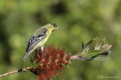 Lesser Goldfinch (Bob Gunderson) Tags: sanfrancisco california birds northerncalifornia finches presidio lessergoldfinch spinuspsaltria elpolinsprings canoneos7dmarkii
