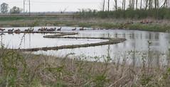 Edelherten steken water over (mirandal1973) Tags: oostvaardersplassen kotterbos edelherten