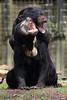 Helarctos malayanus (JGOM) Tags: netherlands zoo arnhem nederland burgers burgerszoo dierentuin dierenpark burgersdierenpark