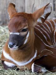 Tragelaphus eurycerus (JGOM) Tags: netherlands zoo arnhem bongo nederland burgers antelope burgerszoo dierentuin dierenpark tragelaphuseurycerus burgersdierenpark