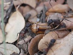 P1030915 (Dr Zoidberg) Tags: hormigas escarabajo zuiko50mmmacro