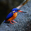 Blue-eared Kingfisher (Sir Mart Outdoorgraphy™) Tags: nature beautiful birds wildlife birding rare birder avian illusive blueearedkingfisher alcedomeninting malaysianbirds sirmart outdoorgraphy outdoorgraphystudios sirmartoutdoorgraphy birdsofmalaysia rajaudangtelingabiru rajaudangbintikbintikmalay