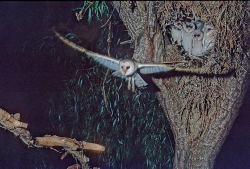 Western Barn Owl, parent Bird leaving nest