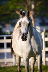 The Expression of the Arabian mare (www.ziggywellens.com) Tags: light horses horse contrast movement mare action expression character attitude arabian equine
