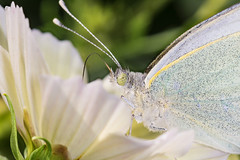 Supping nectar (DavidHowarthUK) Tags: garden colchester essex july 2016 cosmos flower largewhite butterfly pierisbrassicae